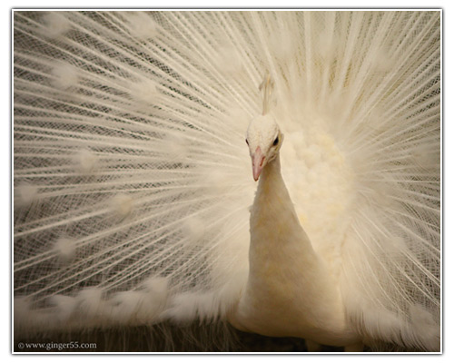 White Peacock - by Ginger
